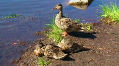A group of ducks stand on the shore of Trillium Lake, Mt. Stock Footage