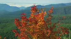 Autumn leaves blow in a breeze at Mt. St. Helens National Park. Stock Footage