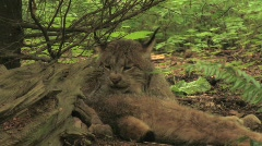 A bobcat licks itself in a forest. Stock Footage