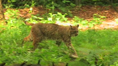 Three bobcats in a forest at day. Stock Footage