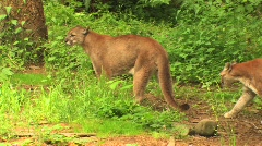 Mountain lions Stock Footage