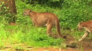 Stock Video Footage of Mountain lions