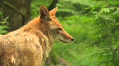 A coyote stands in a forest at day. coyote forest day dog Stock Footage