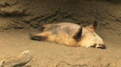 A badger sleeps its burrow. Stock Footage