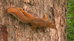 A squirrel grips the bark of tree trunk. Stock Footage