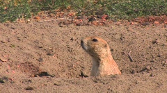 A prairie dog peers out of his hole in the ground. Stock Footage