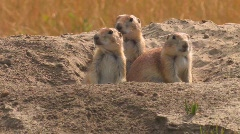 A prairie dog peers out of his hole in the ground. - stock footage