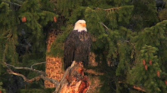 An American bald eagle sits on a tree branch. Stock Footage