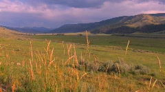 Reeds blow to and fro in a beautiful field in Yellowstone Stock Footage