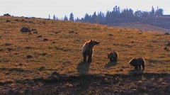A grizzly bear and cubs walk along a hillside. Stock Footage