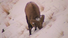 A dall sheep grazes in the snow. - stock footage