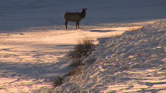 An elk stands in distant snowscape. Stock Footage
