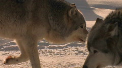 A wolf prowls in the snow with his pack. - stock footage