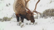 A large male elk grazes in the snow. Stock Footage