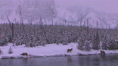 Elk gather at a stream in a frozen Yellowstone scene. Stock Footage