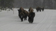 Buffalo walk down a road in heavy snow in Yellowstone National Park. Stock Footage