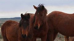 Wild horses graze in the desert. Stock Footage