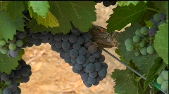 Purple grapes grow on the vine at a winery. Stock Footage