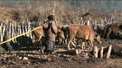 A family of shepherds lead their cattle across a rural area Stock Footage