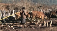 Stock Video Footage of A family of shepherds lead their cattle across a rural area