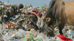 A cow is eating something from garbage in the city. Stock Footage