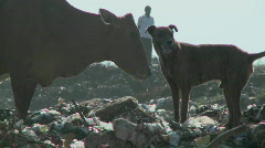A dog and the man watching a cow, eating waste materials. Stock Footage