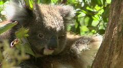 A koala bear sits calmly in a tree. Stock Footage