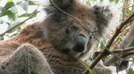 A koala bear sits in a tree. Stock Footage