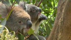 A mother and a baby koala bear sit in a tree. Stock Footage