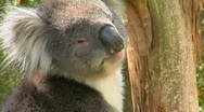 A koala bear turns its head and looks around while sitting Stock Footage