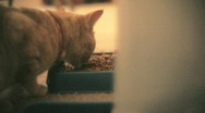 Stock Video Footage of cat eating