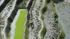 People work in a terraced rice field. Stock Footage