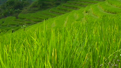 A breeze blows over a lush green terraced hill on a rice farm. Stock Footage