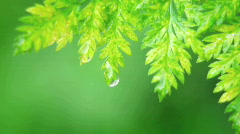 A drop of water falls off a leaf. Stock Footage
