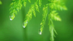 Drops of water fall from leaves. Stock Footage