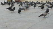 Dove birds in the city / people are walking on background Stock Footage