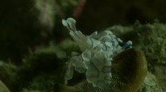 Harlequin shrimp on top of a starfish Stock Footage