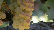 Stock Video Footage of Vertical pan of Chardonnay grapes ripening on the vine in