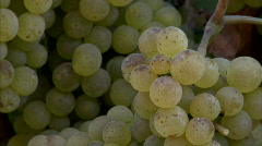 Pan of Chardonnay grapes ripening on the vine in California Stock Footage