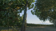Slow pan across a vineyard on a windy day in California Stock Footage