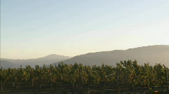 Pan across a Salinas Valley vineyard in the Monterey County Stock Footage