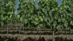 A dolly move through a row of merlot wine vines in Talca, Chile. Stock Footage