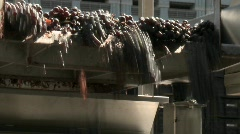 Red grapes tumble off the end of a conveyor belt at a Stock Footage