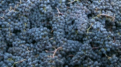Vertical pan across a bin of red grapes during harvest in Chile. Stock Footage