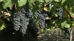 Hand picking red wine grapes during harvest in Chile. - stock footage