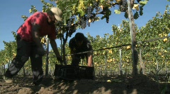 Hand picking red wine grapes during harvest in Chile. Stock Footage