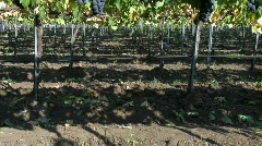Vertical pan of red wine grapes during harvest season in Chile. Stock Footage