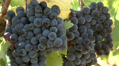 Slow move in on a cluster of red wine grapes during harvest Stock Footage