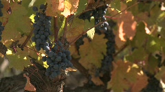 Clusters of red wine grapes waiting for fall harvest in a Stock Footage