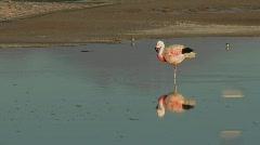 A flamingo reflected in the water of Laguna Chaxa at the Stock Footage